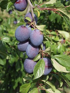 Photo of Valor prunes on a tree
