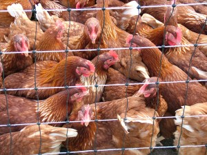 Photo of caged chickens