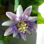 Photo of Passiflora incarnaa