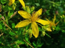 Photo of Hypericum perforatum