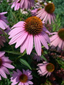 A photo of the echinacea plant