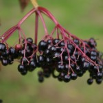Photo of ripe elderberries