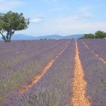 Photo of a field of French lavender