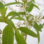 Photo of lemon verbena