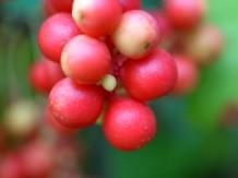 Photo of schizandra berries