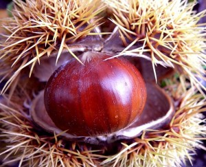 Photo of a sweet chestnut