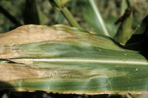 Photo of corn leaf