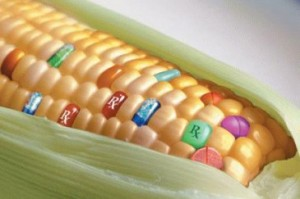 Photo of genetically modified corn