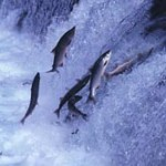 Photo of salmon jumping