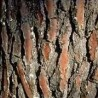 Photo of pine bark