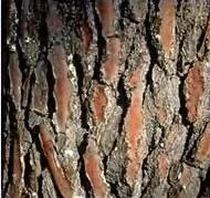 Photo of pine bark