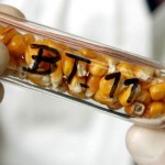 Photo of Bt corn in a test tube