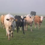 Photo of cows in the mist