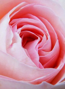 Photo of a pink rose