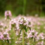 Photo of wild thyme