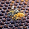 Photo of two honey bees on comb