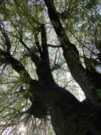 Photo looking up at a big tree