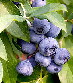 Photo of blueberries on a tree