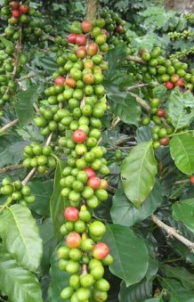 Photo of raw coffee beans on a tree