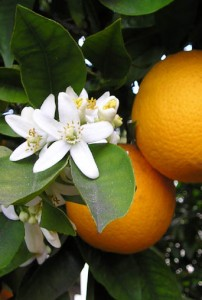 Photo of orange blossom