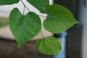 Photo of heart-shaped leaves