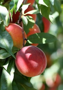 Photo of peaches growing on a tree