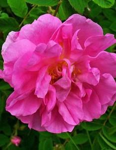 Photo of a single Rosa Damascena