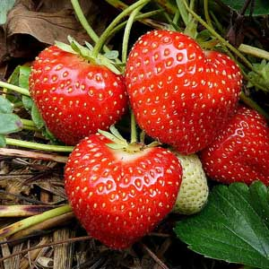 Photo of a strawberry plant