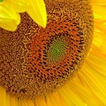 Close up photo of a sunflower