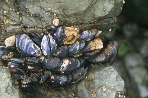 Photo of California mussels on a rock