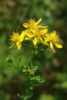 Photo of the St John's wort plant