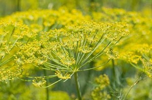 Photo of fennel flower heads