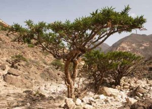 Photo of Boswellia carterii trees