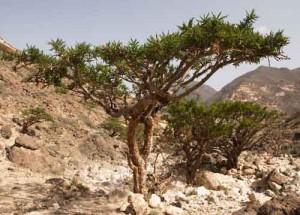 Photo of Boswellia carterii trees