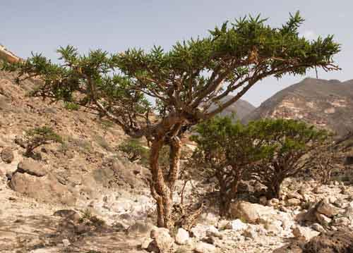 Image result for frankincense tree