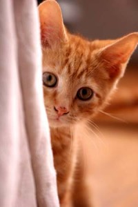 Photo of a kitten hiding behind a curtain