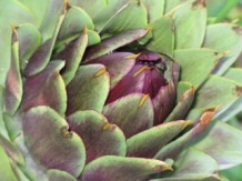 Close up photo of a globe artichoke