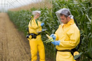 Photo of researchers with genetically modified corn
