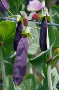 Photo of purple pod peas