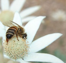 Photo of a bee on a white flower