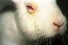 Photo of a rabbit undergoing a Draize test