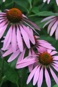Photo of an echinacea plant