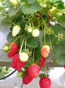 Photo of strawberries growing against a wall