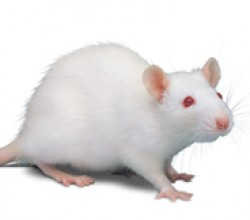 Photo of a white lab rat