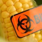 Photo illustrating dangerous GM maize