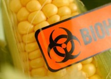 Photo illustrating dangerous GM maize