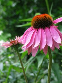 Photo of an echinacea flower