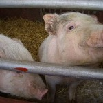 Photo of pigs in a cage