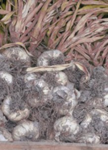 Photo of dried garlic at Trill Farm