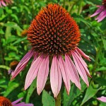 Close up photo of echinacea purpurea flower